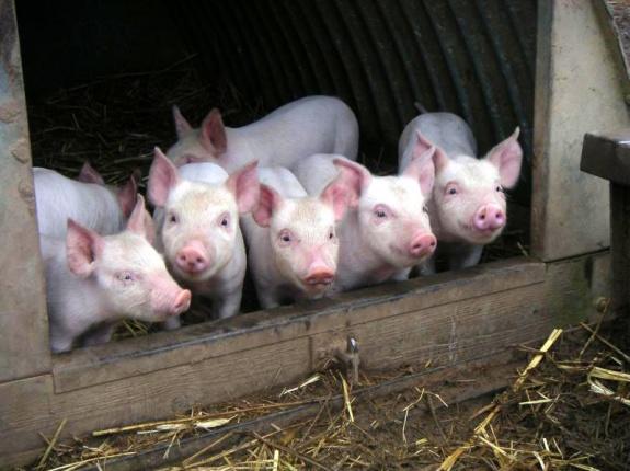 Волгоградская область усилит контроль над ввозимой свининой в связи с АЧС